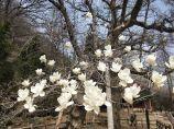 東磊景區玉蘭花正值盛花期
