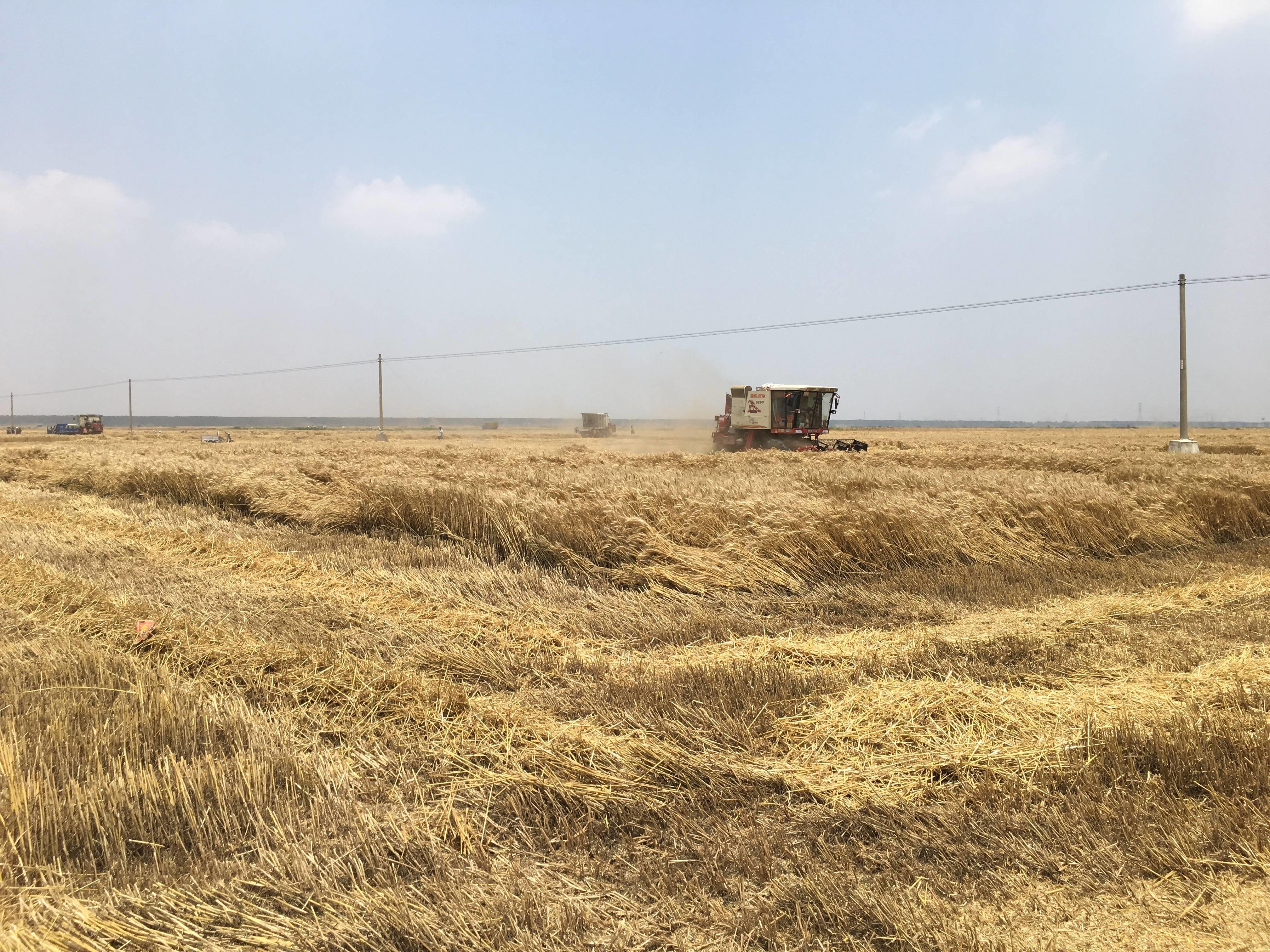 我市小麦大面积开镰